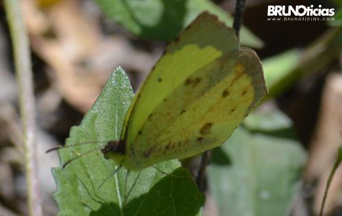 monarcas-churintzio-3-amarilla