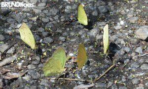 monarcas-churintzio-4-amarilla