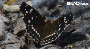 monarcas-churintzio-7-negra