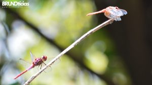 monarcas-churintzio-libelulas