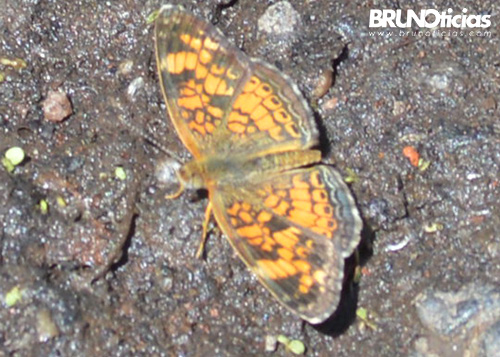 monarcas-churintzio-naranja-2