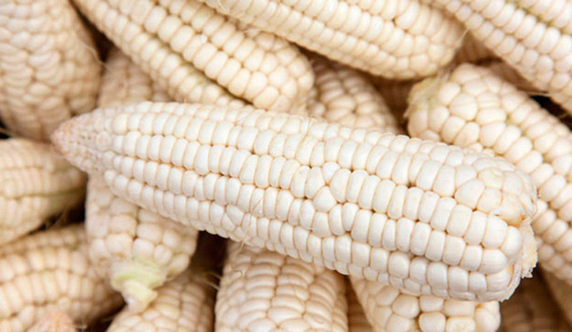 semilla precio de garantía maíz