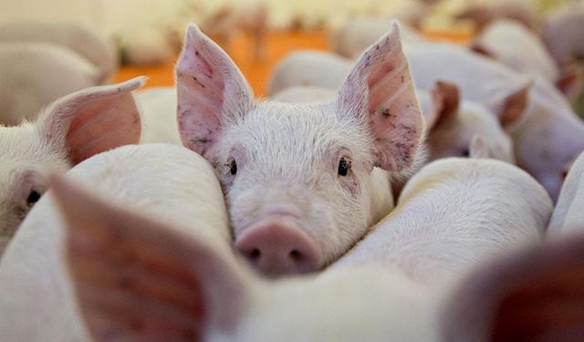 Porcicultura y carne de cerdo