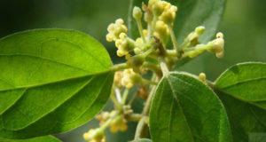 """gymnema planta cuyo nombre popular es El nombre popular """"gur-ma"""" proviene del hindi. Significa """"destructor de azúcar"""" debido a la curiosa propiedad de la planta de suprimir la sensación del sabor dulce."""