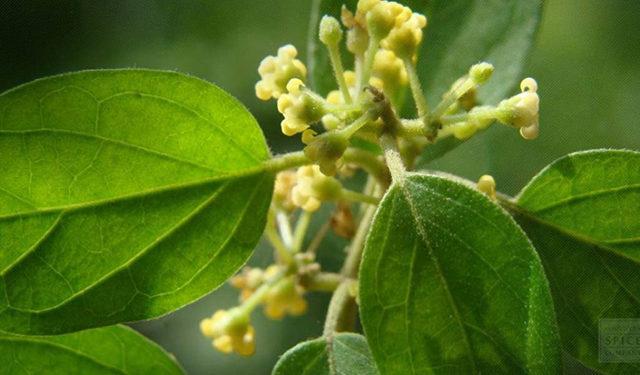 gymnema planta cuyo nombre popular es El nombre popular