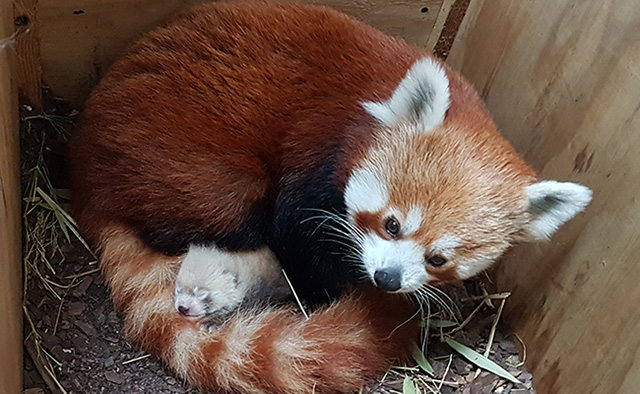 Nace panda rojo en zoológico alemán