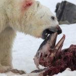 Osos Polares cazan y devoran delfines