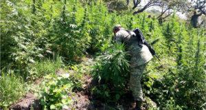 droga plantas de marihuana