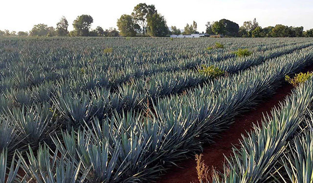 AGAVES AZUL TEQUILANA WEBER
