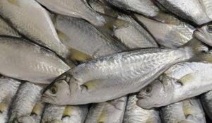 peces pez blanco
