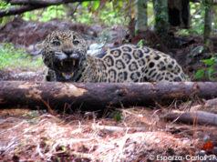 Felinos Jaguar Sierra de Manantlán