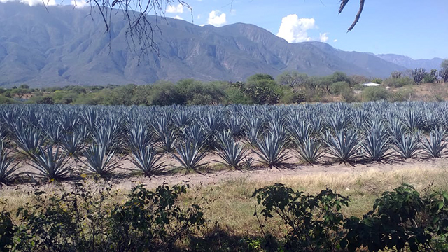 agave tequilero