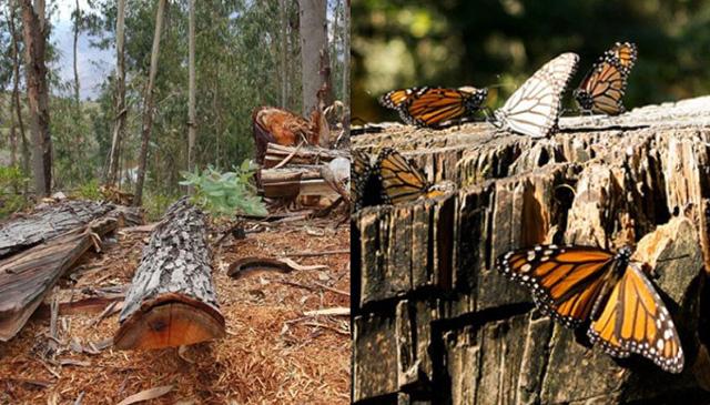 Pinos deforestación