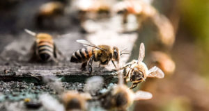 polinizadores abejas