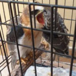 polluelos milano