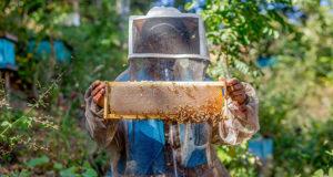 abejas meliponas