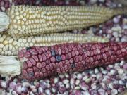maíces criollos Michoacán