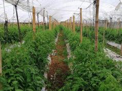penjamillo agricultura sustentable