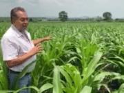 maíz Churintzio Agricultura Sustentable