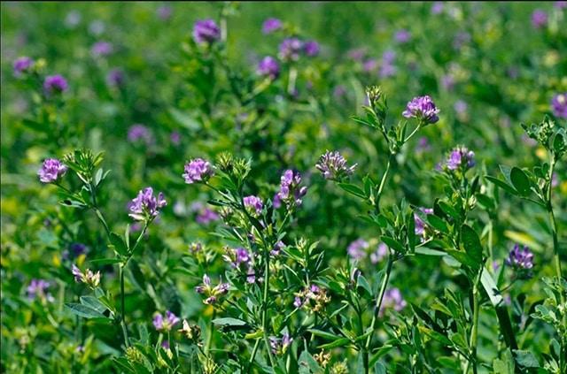 alfalfa Ecuandureo
