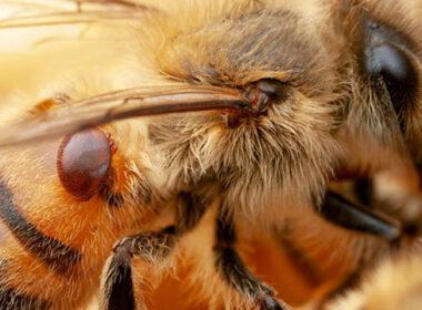 varroasis abejas Michoacán