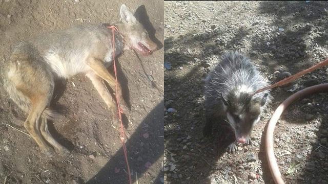 fauna coyote tlacuache